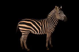 zebras stripes skin