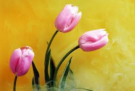 Bestyellow by Flower Tulips Smoke Best Yellow Tulip Nature Stem Petals Colour