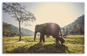 apple wallpaper elephant elephant in thailand 4k hd desktop wallpaper for 4k ultra hd tv