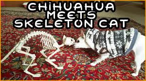 Halloween Skeleton Dog by Dog Scared By Halloween Skeleton Cat Youtube