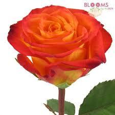 bulk roses bulk roses online bloomsbythebox