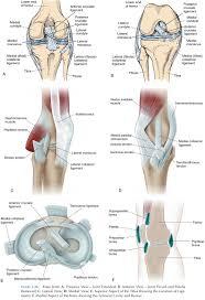 Anatomy Of The Knee Joints Of The Pelvic Girdle And Lower Limbs Study Material