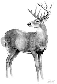 whitetail deer stag