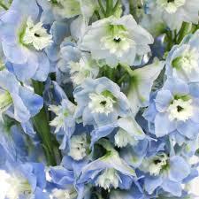 delphinium flowers blue designer delphinium flower