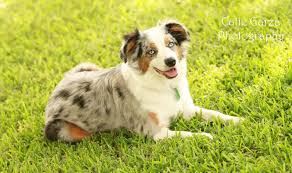 australian shepherd yahoo answers american stock dog registry american stock dog registry