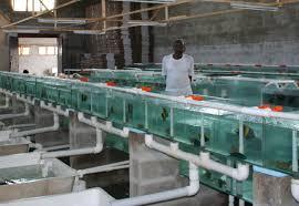 ornamental fish farms aquaculture s next big trend agricoolture