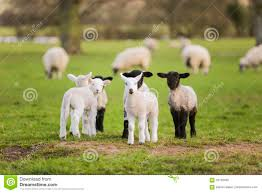 spring lambs baby sheep in a field stock photo image 70100459