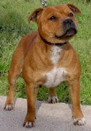 american pitbull terrier natural ears would you know a pitbull if you saw one