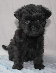 affenpinscher terrier mix affenpinscher dog puppy dog gallery