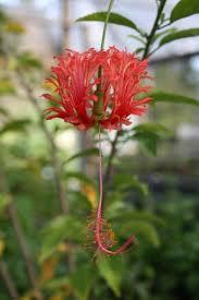 japanese lantern plant japanese lantern fringed mallow coral hibiscus hibiscus