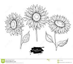 sunflower flower vector drawing set hand drawn illustration