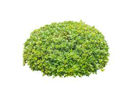 ornamental bush isolated stock photo image 52401674