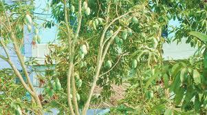 Mango Boom vijf of zes mango s hoe denk een boom zonder vrucht allinfo