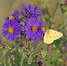 viette u0027s perennials to attract butterflies u0026 hummingbirds