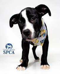 2 month old american pitbull terrier duke is a 2 month old male black and white terrier pitbull