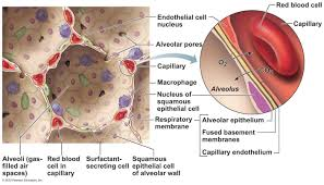 anatomy of alveoli choice image learn human anatomy image