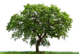 tips to manage your oak trees