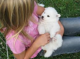 american eskimo dog puppies near me sweet sammy home american eskimo