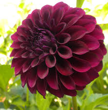 Most Beautiful Colors by File Where Does The Exquisite Black Dahlia Gets Its Color From 2