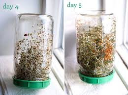 hardest plant to grow how to grow sprouts at home eat within your means