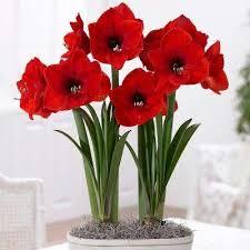 annual amaryllis flower bulbs garden plants flowers the