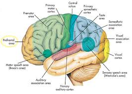 Anatomy And Physiology Of Speech Islam Guide The Quran On The Cerebrum