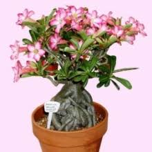 mothers day plants mothers day plants to cebu online mothers day gift plants to cebu