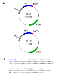 Circle Map Vectors For Expression Of Yfp And Luciferase Fusion Proteins A