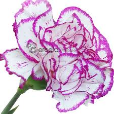 bulk carnations bulk flowers bicolor white purple edge carnations