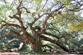 photos of angel oak tree