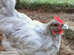 vent gleet in backyard chickens fresh eggs daily