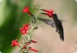 Hummingbird Flowers Flowers For Hummingbirds Diane U0027s Flower Seeds