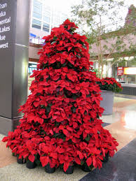 mille fiori favoriti beautiful poinsettias and the jacques torres