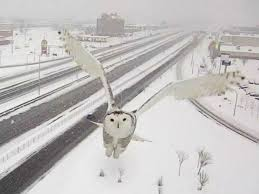 traffic camera catches snowy owl soaring over quebec highway abc