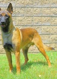 belgian shepherd ohio trained dogs for sale family obedience u0026 protection dogs