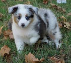 australian shepherd gray mistys toy aussies toy teacup and mini australian shepherds