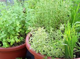 grow your own perennial herb container garden garden therapy