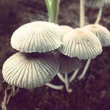 mushrooms a deadly food ladysmith gazette