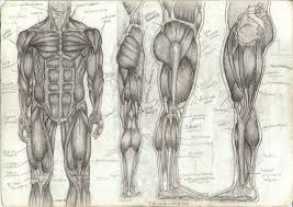 Full Body Muscle Anatomy Tag Muscle Anatomy Of The Human Body Quiz Archives Human
