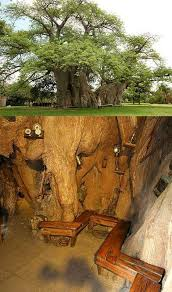 best 25 baobab tree ideas on is strange wiki