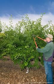 Backyard Fruit Trees July 16 Summer Pruning Fruit Trees Uc Master Gardeners Diggin