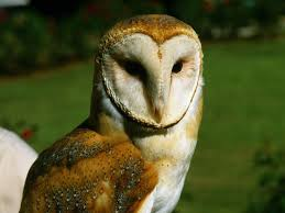 What Does A Barn Owl Look Like The 25 Best Barn Owl Sounds Ideas On Pinterest