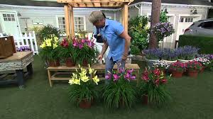 Reblooming Daylilies Cottage Farms 6 Piece Dwarf Reblooming Daylily Collect On Qvc