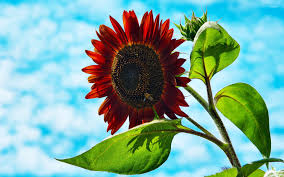 sunflower wallpapers bee on red sunflower wallpaper photography wallpapers 18332