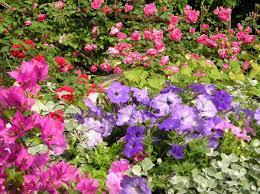 flora sky apk free free images bougainvillea petunia roses flower flowering