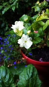 Most Fragrant Jasmine Plant - a walk through a warm pennsylvania garden improving your herb
