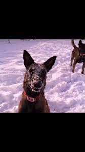 belgian shepherd malinois pronunciation 91 best belgium malinois dogs are the best images on pinterest