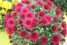 9 new mystic mums to try in 2013 greenhouse grower