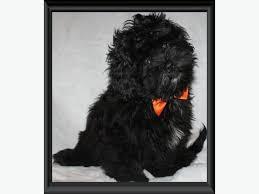 affenpinscher a vendre quebec teddy bear zuchon puppies shichon shih tzu bichon rare colours