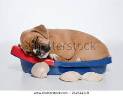boxer dog 2 months old boxer puppy isolated stock images royalty free images u0026 vectors